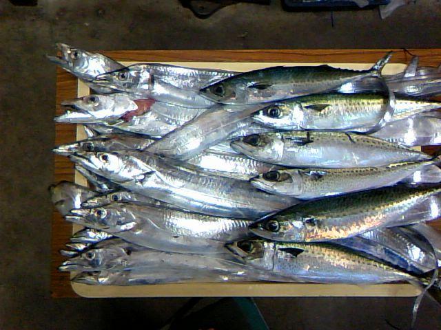 鯖も混じりました、7~8匹良いお土産です!